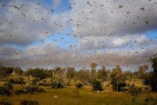 Enjambre de langostas migratorias malgaches. Imagen: FAO.