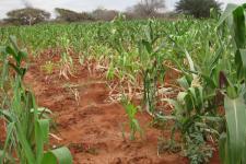 Crops in Kenya. Image: RCMRD.