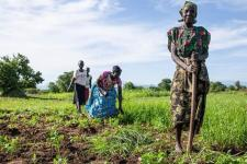 African farmers harvesting the crop in South Sudan. Image: FAO/South Sudan.